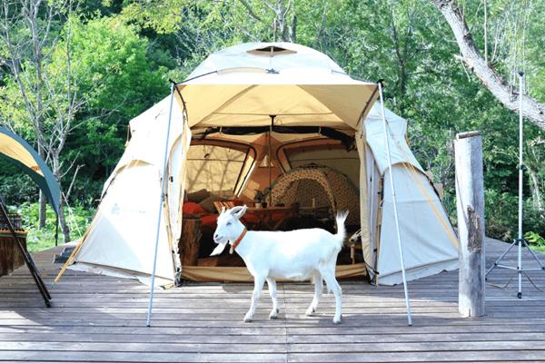 ヤギとキャンプ