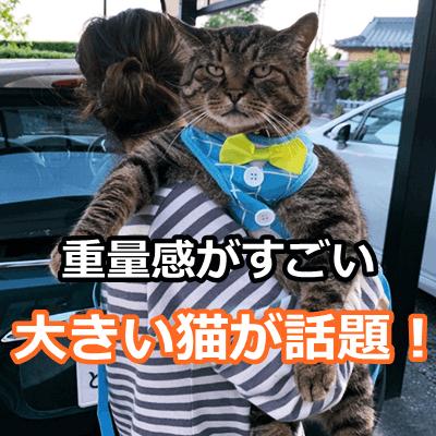 大きい猫 メインクーン