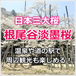 岐阜県にある根尾谷淡墨桜!見頃は?開花状況は?周辺には温泉もあるよ!