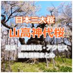 山高神代桜の見頃はいつ?混雑状況やアクセス、周辺の観光情報まとめ
